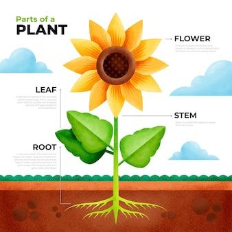 Infographie géométrique des parties de la plante