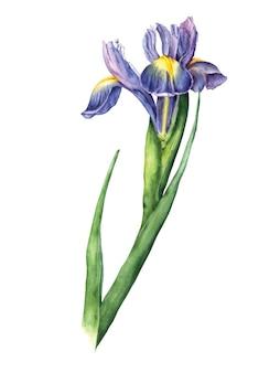 Iris aquarelle isolé sur blanc
