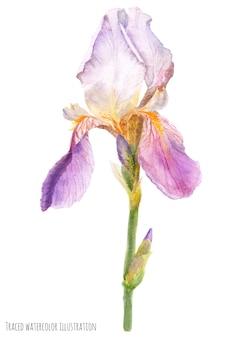 Iris grand-barbu