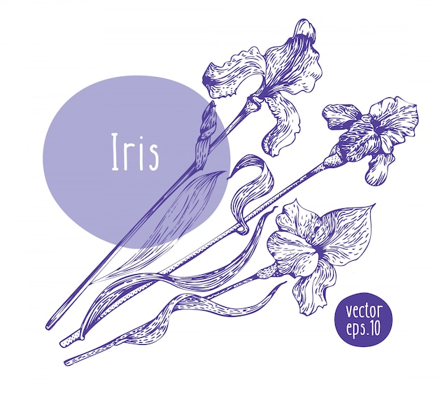 Iris rétro dessinés à la main. fleur épanouie de vecteur. illustration botanique
