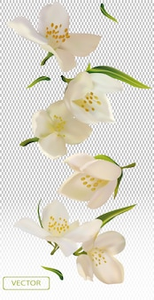 Jasmin fleur blanche avec feuille verte.