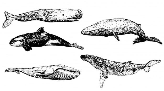 Jeu d'icônes de baleine dessinés à la main d'encre