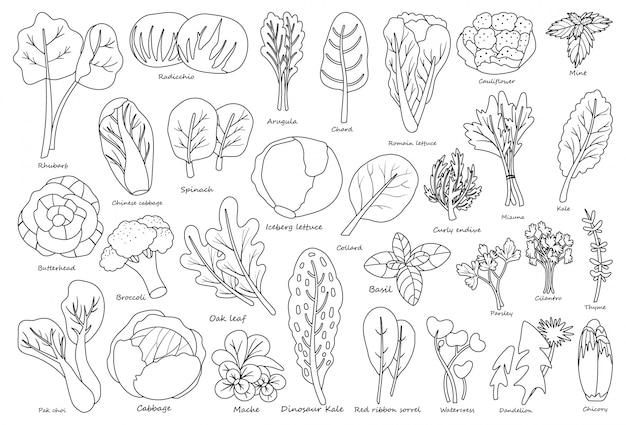 Laitue végétale style de ligne outin, dans l'icône de style de ligne.