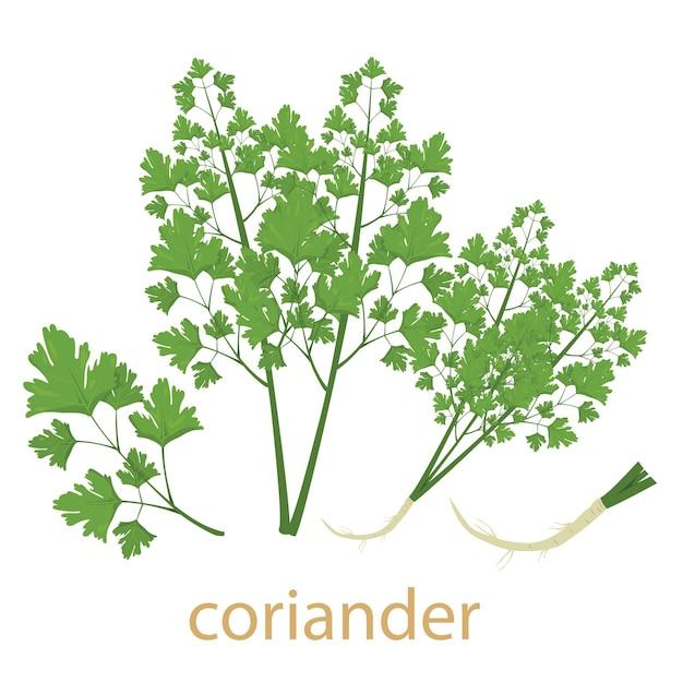 Légume coriandre isolé