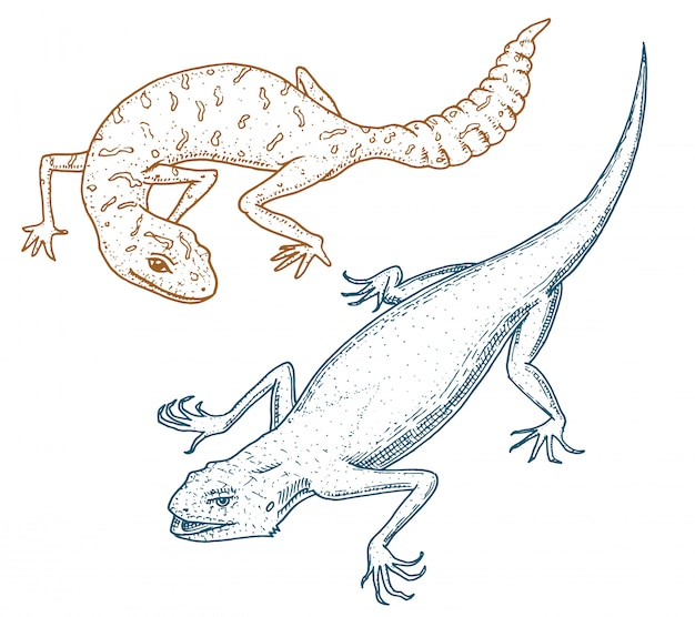 Lézard des murailles d'ibiza, léopard commun ou gecko tacheté à grosse queue, reptiles exotiques ou serpents bleus, montagne rouge, agama arc-en-ciel du sinaï. animaux sauvages dans la nature. gravé à la main.