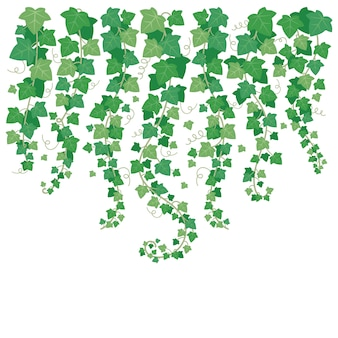 Lierre vert