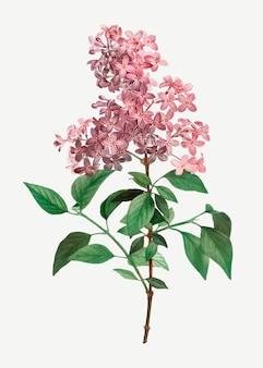 Lilas chinois