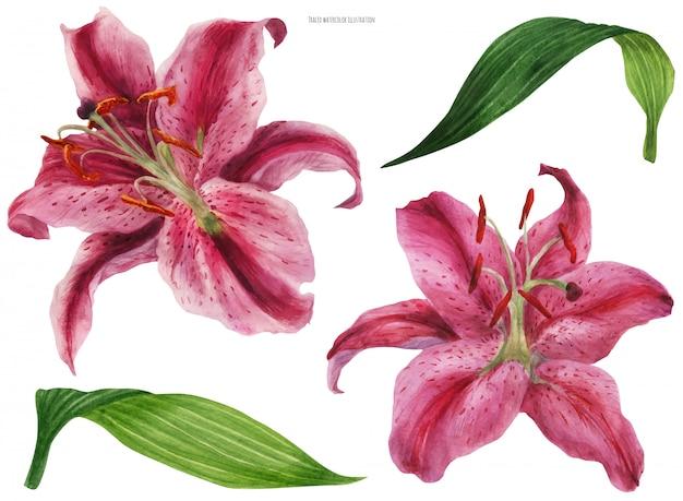Lily stargazer asiatique, fleurs et feuilles isolées