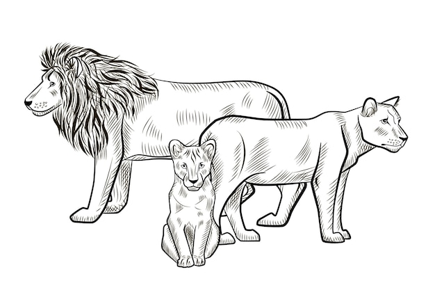 Lions de la famille isolés sur fond blanc. dessinez un lion graphique, une lionne, un prédateur de cub de savane dans un style de gravure. concevoir un dessin rétro en noir et blanc. illustration vectorielle.