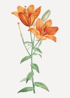 Lis bulbeux orange
