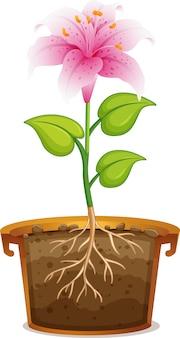 Lis rose en pot d'argile sur fond blanc