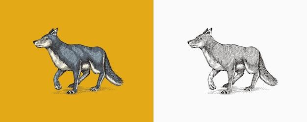Loup gris une bête prédatrice animal de forêt sauvage vecteur gravé à la main vintage vieux croquis pour