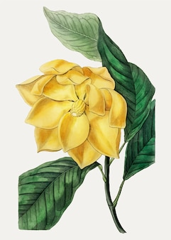 Magnolia candollei