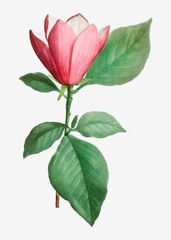 Magnolia japonais