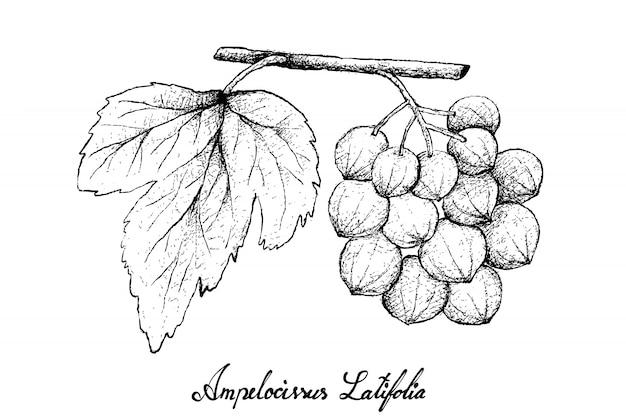 Main, dessiné, de, ampelocissus, latifolia, sur, fond blanc
