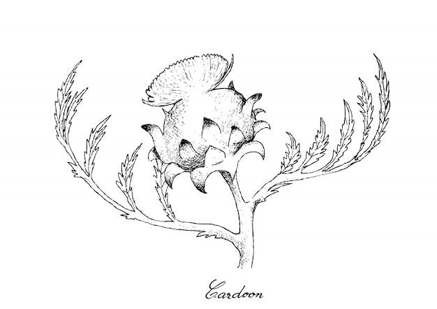 Main dessiné de fleur de cardon frais sur fond blanc