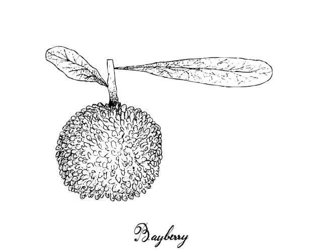 Main dessiné de fruits bayberry