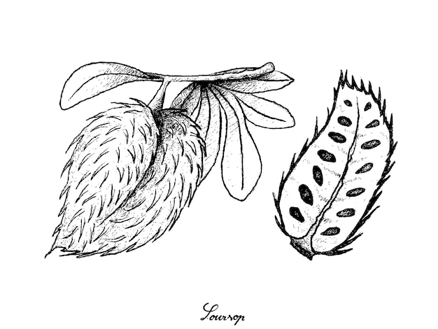 Main dessiné de fruits mûrs de corossol