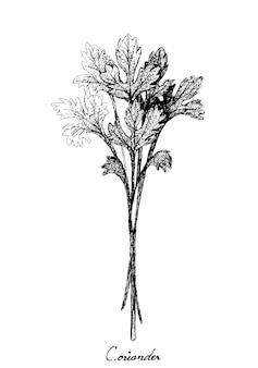 Main dessinée de coriandre verte fraîche sur blanc