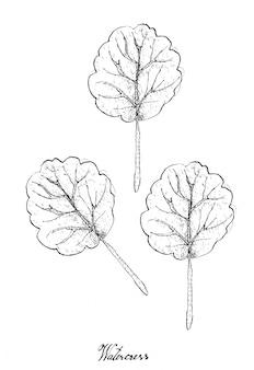 Main dessinée de cresson sur fond blanc