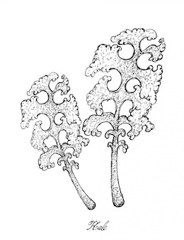 Main dessinée de kale plant sur fond blanc