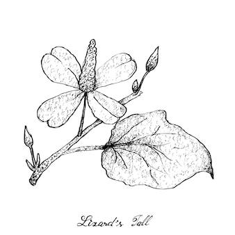 Main dessinée de la plante de la queue de lézard sur fond blanc