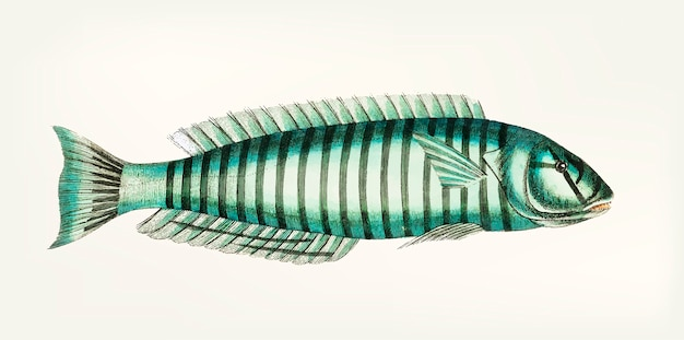 Main dessinée de ring wrasse