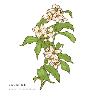 Main dessiner illustration de fleurs de jasmin.