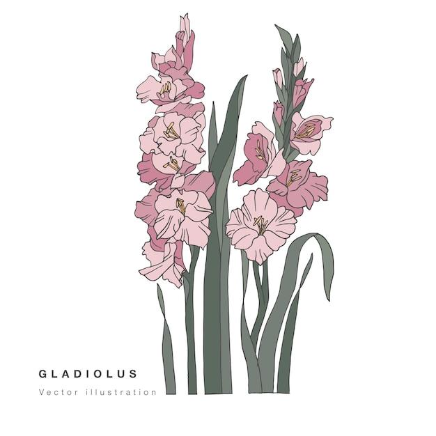 Main dessiner illustration vectorielle de fleurs de glaïeul. carte florale botanique sur fond blanc.