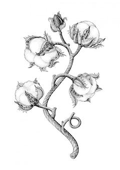 Main de plante de coton dessin style de gravure vintage isotale sur fond blanc
