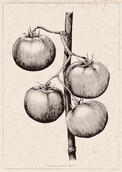 Main de tomates dessin illustration de gravure sur fond vintage