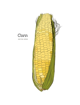 Maïs sur l'épi vintage illustration gravée.