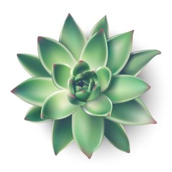 Maison plante succulente de la vue de dessus. icône illustration sur fond blanc.