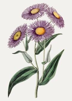 Marguerite aspen fleabane