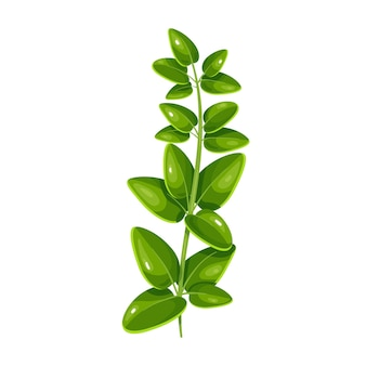 Marjolaine verte, nourriture végétarienne, menu sain. épices d'herbes, salade et repas. illustration vectorielle isolée en style cartoon.