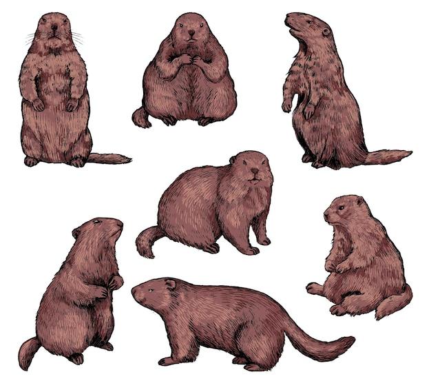 Marmottes dans différentes positions. collection de marmottes flûtes. éléments de vacances du jour de la marmotte. ensemble d'illustrations vectorielles dessinées à la main. croquis de couleur vintage isolé sur blanc. clipart de style de gravure.