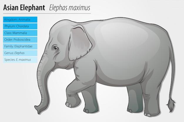 Modèle d'éléphant d'asie
