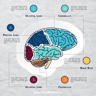 Modèle infographique cerveau avec des détails de couleur