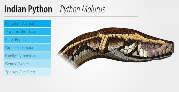 Modèle python indien