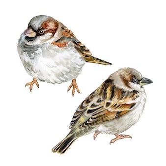 Moineau oiseau isolé. aquarelle.