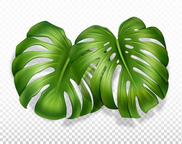 Monstera à deux feuilles
