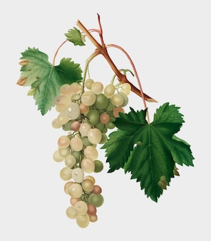 Muscat, raisin, illustration, pomona, italiana