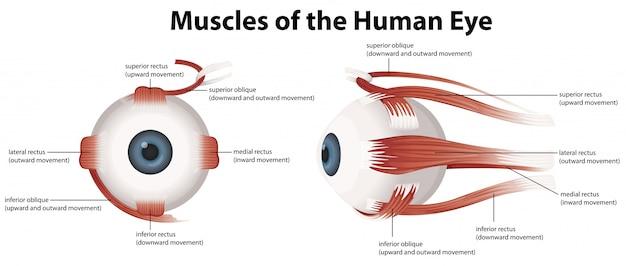 Muscles de l'oeil humain
