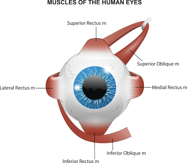 Muscles des yeux humains