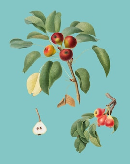 Musky pear d'illustration de pomona italiana