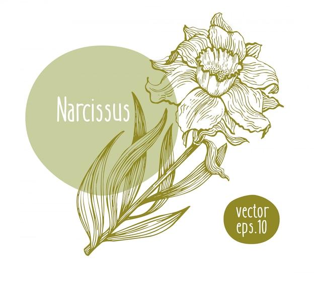 Narcisse rétro dessiné à la main. fleur épanouie de vecteur. illustration botanique