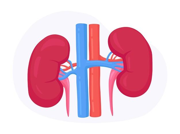Néphrologie, urologie. anatomie du rein humain. insuffisance rénale, pyélonéphrite, maladies, calculs rénaux, cystite