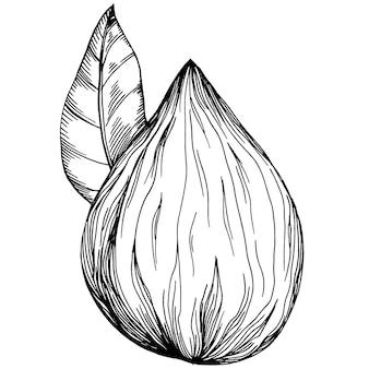 Noisette, noisette, cobnut dessinés à la main vector illustration isolé sur fond blanc. produit agricole de style rétro pour le menu du restaurant, l'étiquette du marché, le logo, l'emblème et la conception de la cuisine. décoration pour la nourriture.
