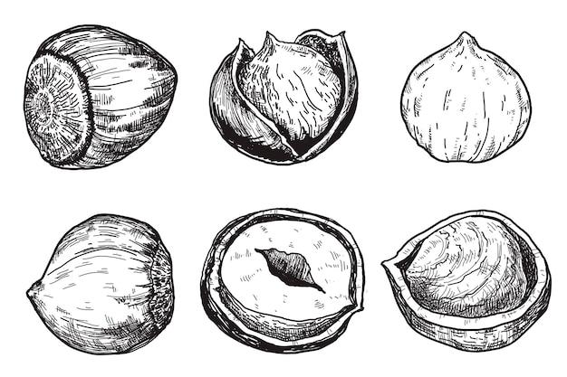 Les noisettes sont dans le style de gravure ilustrations dessinées à la main vintage
