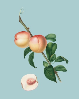 Noix blanche de pomona italiana illustration